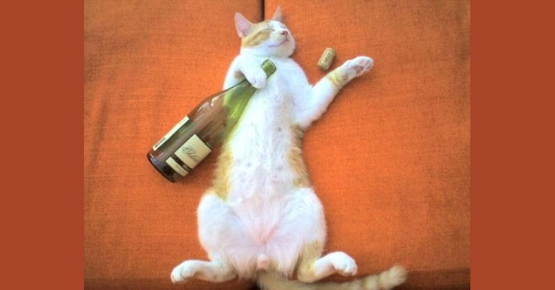 blog vin beaux-vins chat saoul bourré Aljosha alcool vin cave