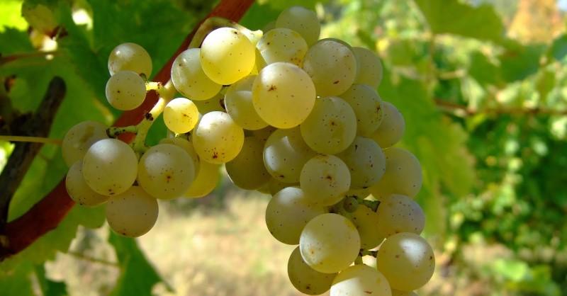 Blog vin beaux-vins oenologie vignoble sancerre vignes arrachées
