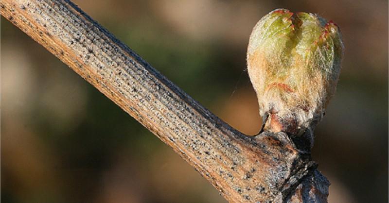 bourgeons vignes blog vin beaux-vins oenologie gelée noire