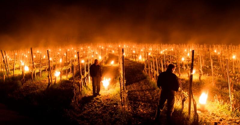 feu vignes blog vin beaux-vins oenologie gelée noire