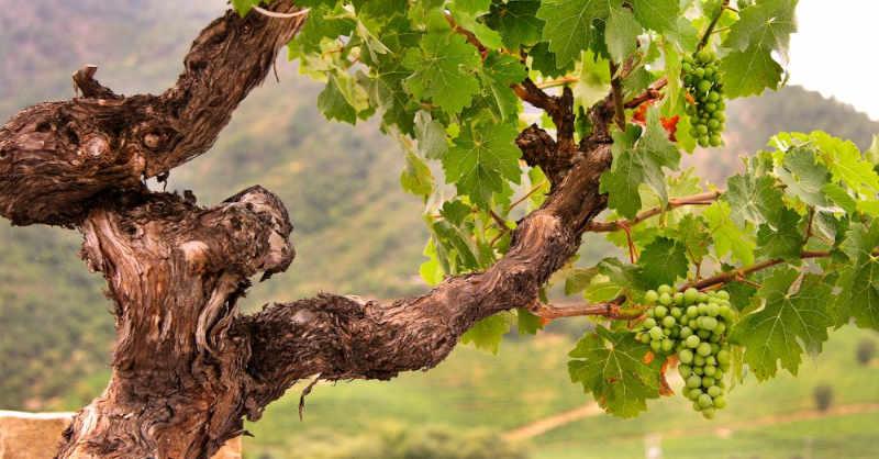 Beaujolais vigne chardonnay