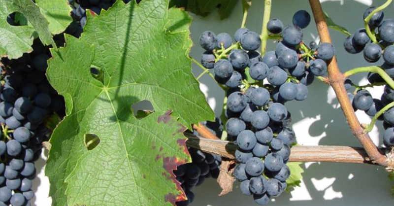 blog vin beaux-vins quizz beaujolais quizz cepage rouge gamaret