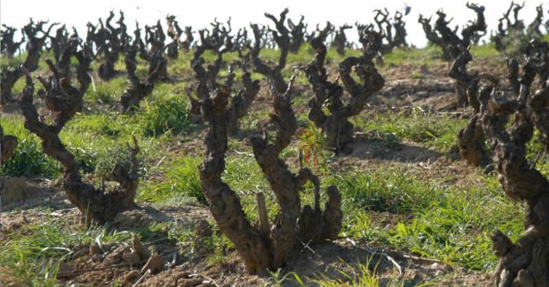 blog vin beaux-vins quizz beaujolais quizz taille vigne