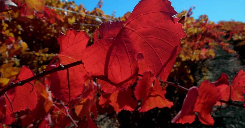blog vin beauxvins feuilles vignes rouge viticulture