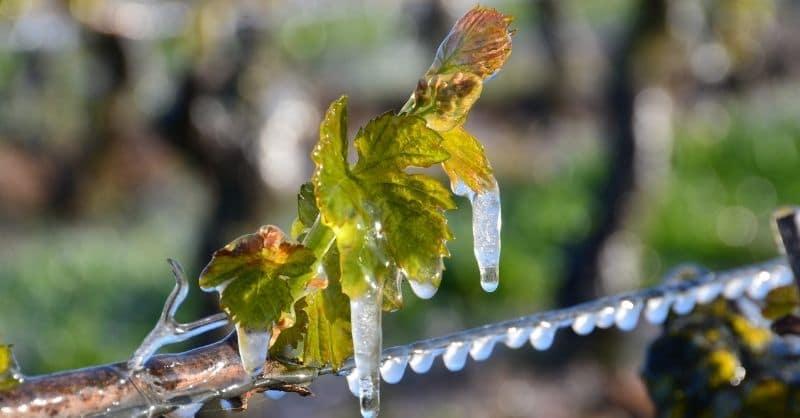 gel vigne feuille