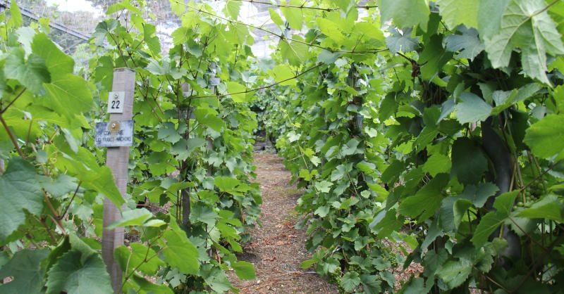 Les superbes vignes « cachées » de la République des Canuts